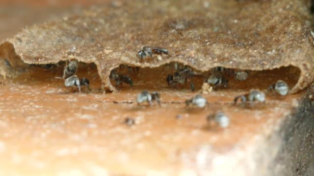vidéos et rushes de abeilles sans piqûre volant de la ruche pour trouver le miellat - insecte