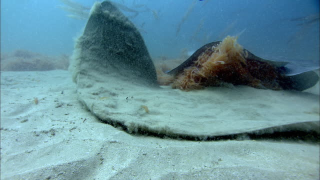 stingray (dasyatis sp.) disturbs butterfly ray (gymnura sp.) on sea floor, south africa - stingray stock videos and b-roll footage