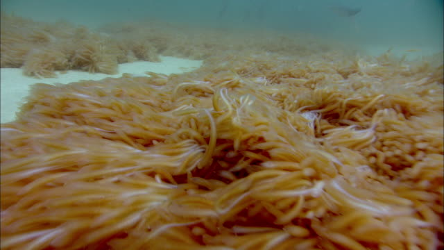 stingray (dasyatis sp.) feeds on chokka squid (loligo vulgaris reynaudii) eggs on sea floor, south africa - stingray stock videos and b-roll footage