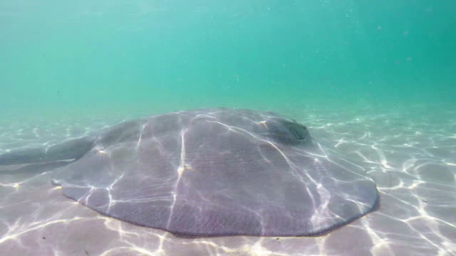 stockvideo's en b-roll-footage met stingray fish swimming in the sea - pjphoto69