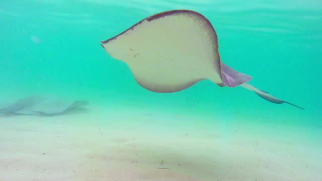 stingray fish swimming in the sea - stingray stock videos and b-roll footage