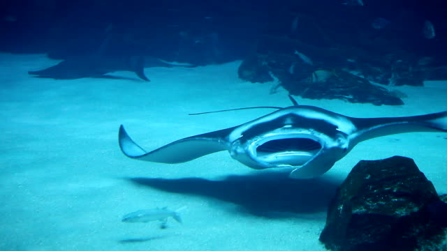 stingray fish - stingray stock videos and b-roll footage