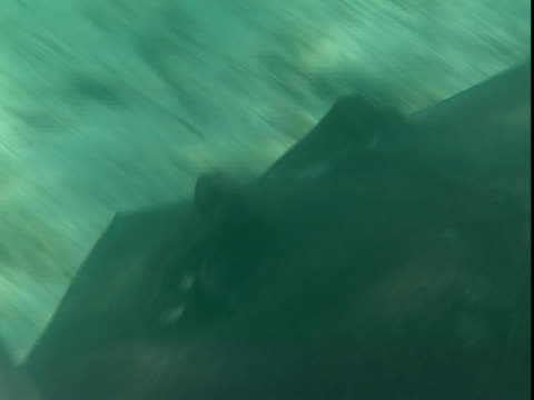 a stingray glides along a shallow seabed. - southern stingray stock videos and b-roll footage