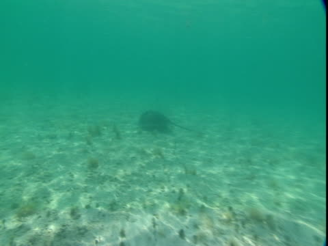 a stingray glides along a sunny seabed. - southern stingray stock videos and b-roll footage