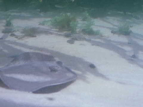 stingray glides over a sandy ocean floor. - zoologia video stock e b–roll