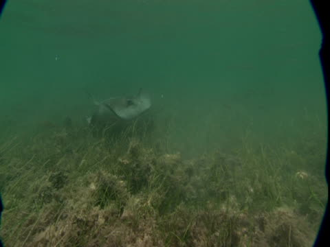 a stingray glides over a weedy seabed. - southern stingray stock videos and b-roll footage