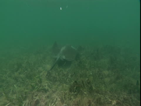 a stingray glides over seaweed. - southern stingray stock videos and b-roll footage