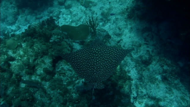 a stingray glides slowly over the bottom of the reef. - stingray stock videos and b-roll footage