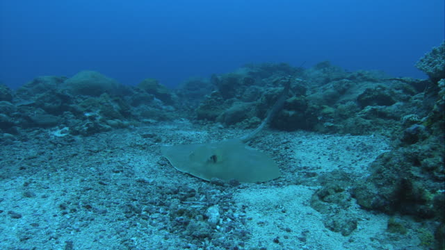 a stingray hides on an ocean floor, then swims quickly away. - stechrochen stock-videos und b-roll-filmmaterial