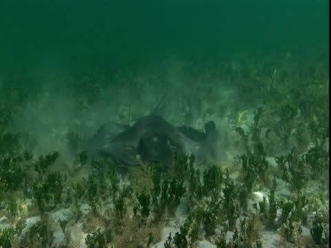 a stingray hovers over a sandy seabed. - southern stingray stock videos and b-roll footage