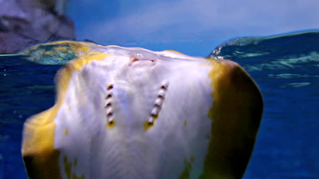 stingray movement in aquarium - stingray stock videos and b-roll footage