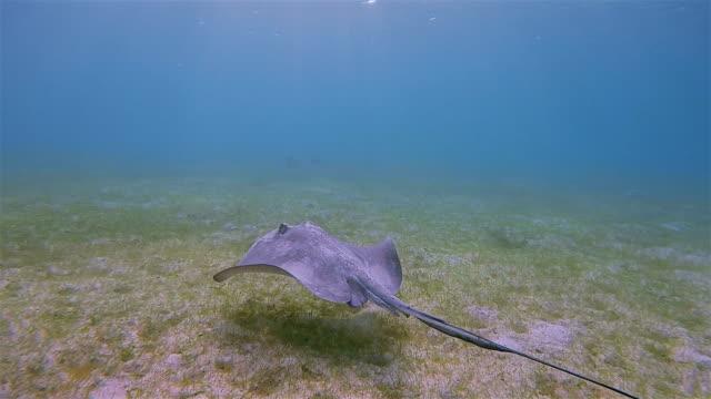 stingray on seagrass bed in caribbean sea near akumal bay - riviera maya / cozumel , quintana roo , mexico - mayan riviera stock videos & royalty-free footage