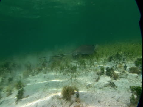 a stingray stirs up sand as it glides along a shallow seabed. - southern stingray stock videos and b-roll footage