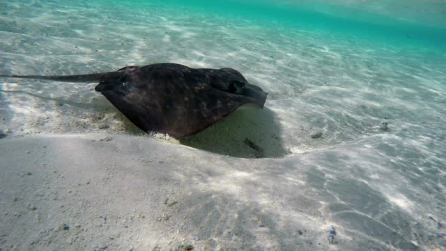 stingray swimming fast in shallow water in ocean - stingray stock videos and b-roll footage