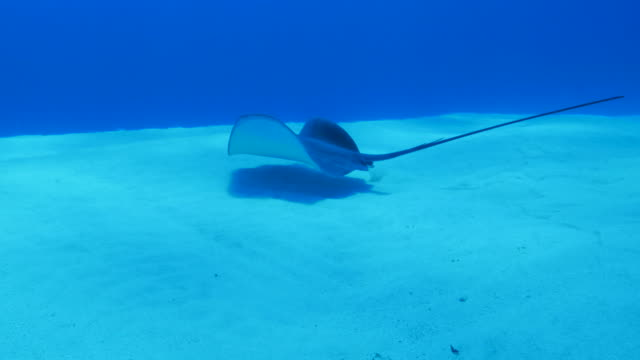 stingray swimming in sand beach, japan - stingray stock videos and b-roll footage