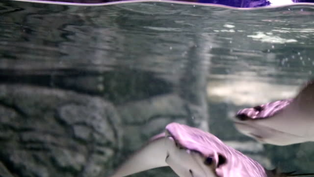 stingray swimming in water - stingray stock videos and b-roll footage