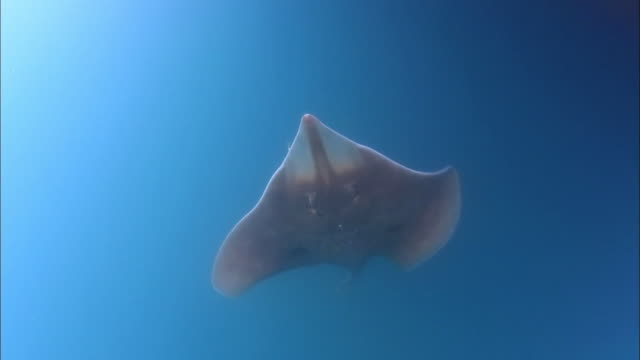 stingray swimming under the sea of korea - stingray stock videos and b-roll footage