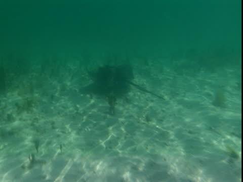 "vidéos et rushes de a stingray swims along a shallow, sandy seabed. - ""bbc natural history"""