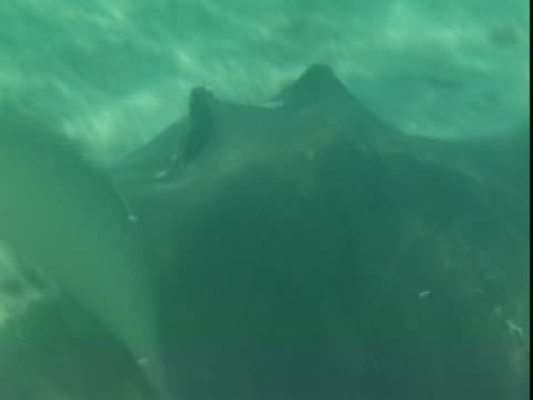 a stingray swims along a sun dappled seabed. - southern stingray stock videos and b-roll footage