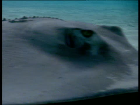 stingray swims past camera and pushes up sand on sea bed - stingray stock videos and b-roll footage
