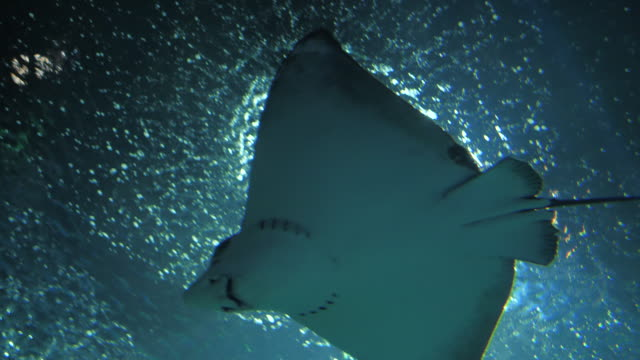 stingray - stingray stock videos and b-roll footage