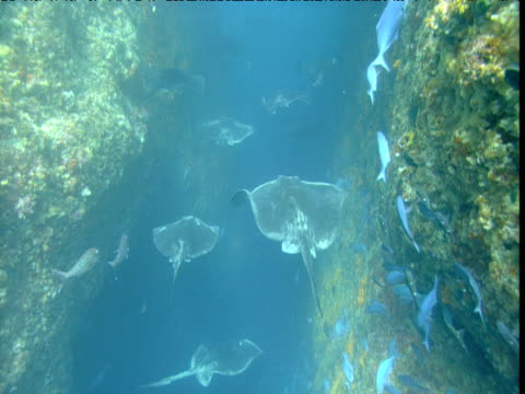 stingrays and demoiselles drift backwards and forwards as they hang in current in canyon, poor knights island, new zealand - stingray stock videos and b-roll footage