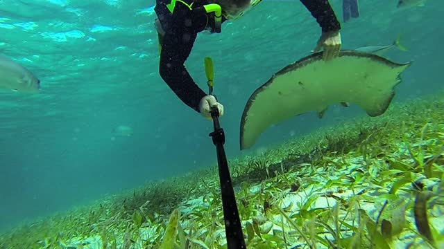 vídeos de stock e filmes b-roll de stingrays have a reputation as being cold blooded killers, unpredictable and dangerous. public perception turned extremely negative when the beloved... - steve irwin