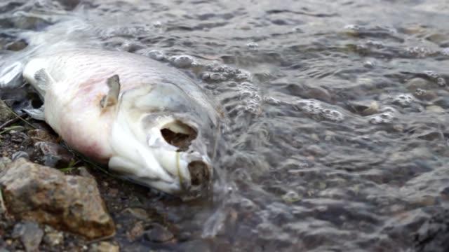 vidéos et rushes de puanteur poissons morts en décomposition sur le rivage pollué, déchets toxiques nuire à la nature - danger