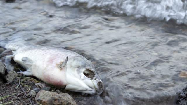 vidéos et rushes de puanteur poissons morts en décomposition sur le rivage pollué, déchets toxiques nuire à la nature - rivage