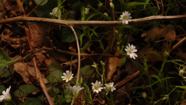 stitchwort flowers unfurl in a forest. available in hd. - plant stock videos & royalty-free footage