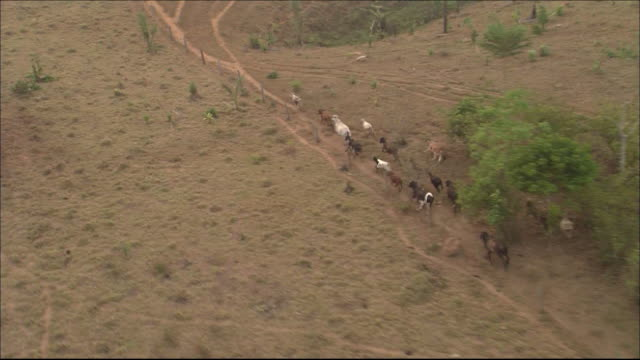 Stock farm on cleared rainforest  Herd of cattle running Wide Shot  Aerial Shot