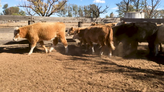 Stock yard and Grass fed beef cattle steers running in the corral
