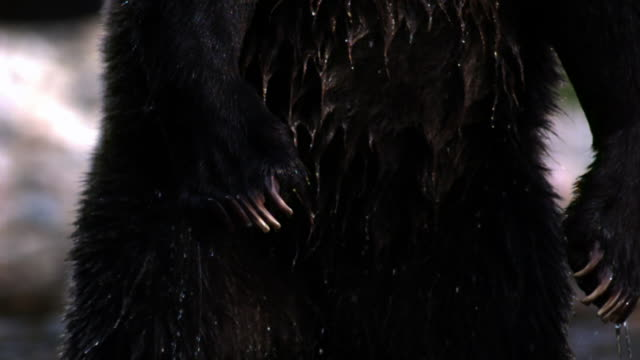 stomach of standing grizzly bear, bear then leaps sideways out of shot. - animal hair stock-videos und b-roll-filmmaterial