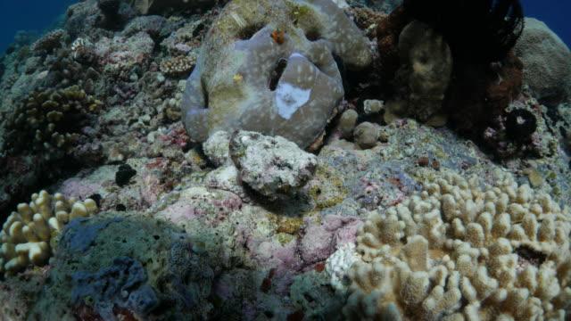 Stein Fisch mit schützenden Farbe sich in ihnen zu verstecken reef