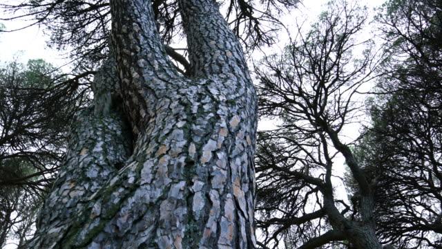 pino piñonero - stone pine (pinus pinea), is also called the italian stone pine, umbrella pine and parasol pine, toledo, castilla - la mancha, spain, europe - plant bark stock videos and b-roll footage
