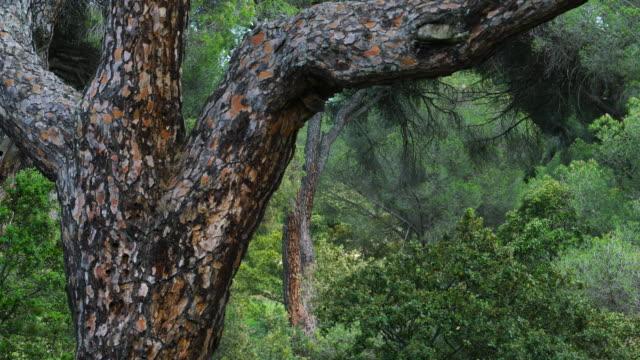 PINO PIÑONERO - Stone pine (Pinus pinea), is also called the Italian stone pine, umbrella pine and parasol pine, Toledo, Castilla - La Mancha, Spain, Europe