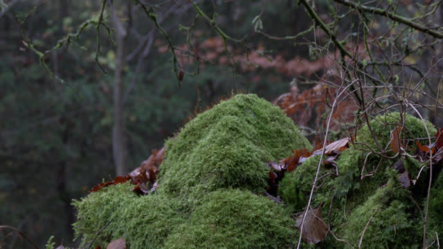 Stone wall covered in green moss in a damp Scottish woodland