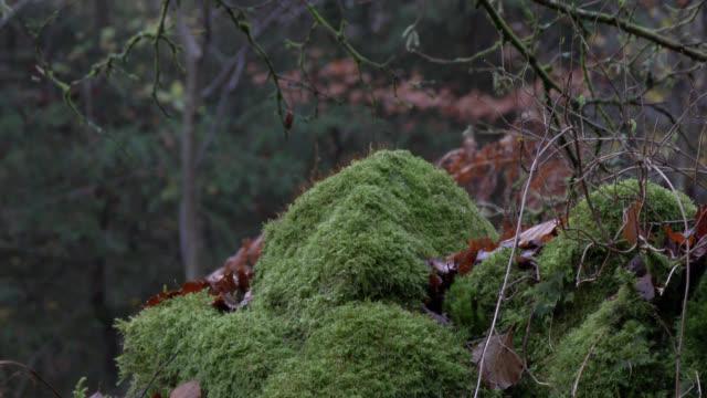 Steinmauer in grünem Moos in einem feuchten schottischen Waldgebiet bedeckt