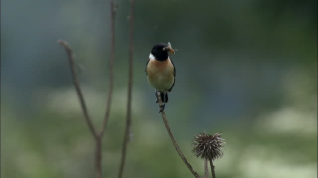 stonechat (saxicola torquata) perched on twig with fly in beak, changbaishan national nature reserve, jilin province, china - twig stock videos & royalty-free footage