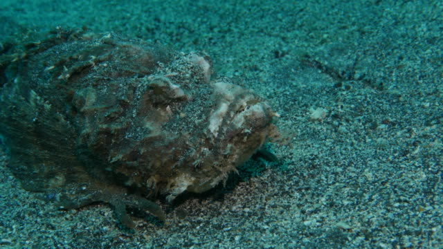 Stonefish, close-up, undersea