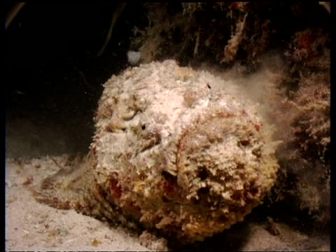 stonefish feeding on anchovy school, front view, mabul, borneo, malaysia - anchovy stock videos & royalty-free footage