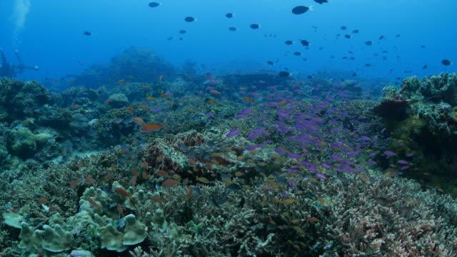 Stonefish hunts the small fish (4K->FHD)