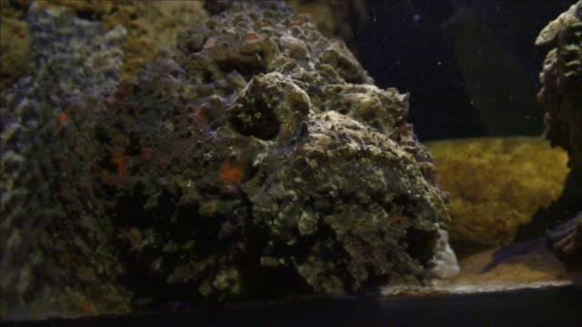 a stonefish moves its gills as it rests on the bottom of an aquarium. - gill stock videos & royalty-free footage