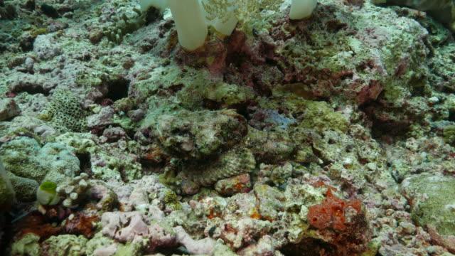 Steinfisch Aufenthalt im Meer mit schützenden Farbe, Korallenriff