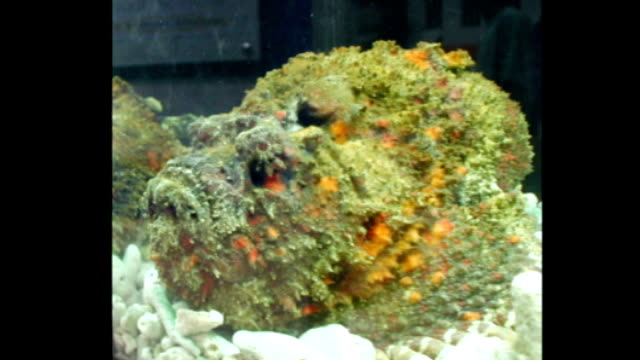 STILL stonefish