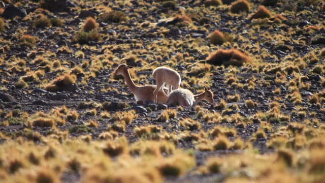ms tu stony multicolored landscape with light yellow shrubs and dark ground with two vicunas lying down - travelling light stock videos & royalty-free footage