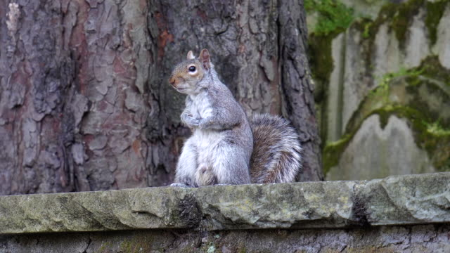 stood up squirrel looking around - male animal stock videos & royalty-free footage