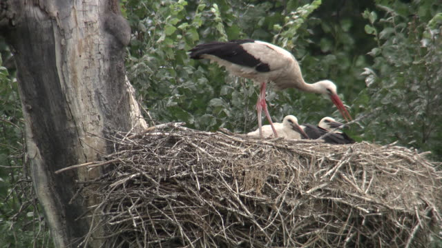 Stork arranging its Nest
