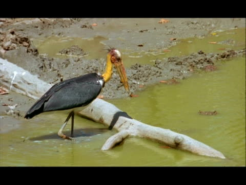 stork catching crab, nagarahole, southern india - lunghezza video stock e b–roll