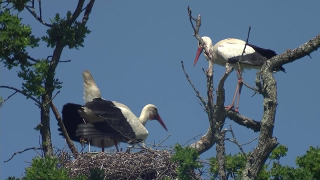 stork chicks hatch in uk for first time in centuries; england: west sussex: ext white stork flying into nest in tree with another stork / storks... - animal mouth stock videos & royalty-free footage